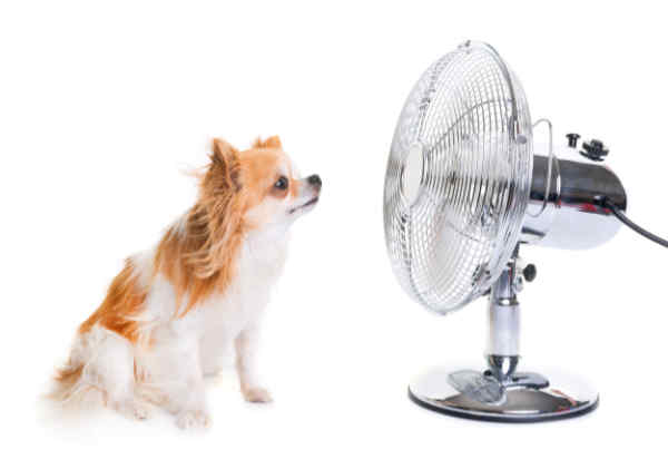 Chihuahua keeping cool in front of a fan